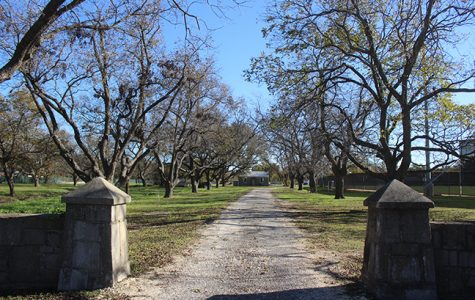 Tarleton considers cutting down historic pecan trees