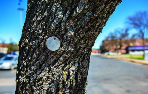 Is the oak tree tradition slowly disappearing at Tarleton?