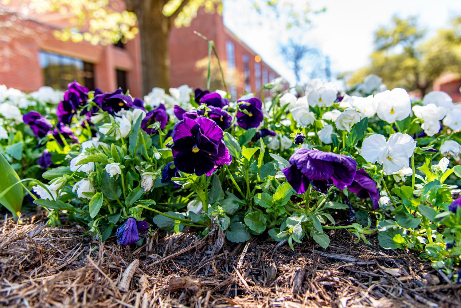 Purple and white flowers outside of the Barry B. Thompson Student Center