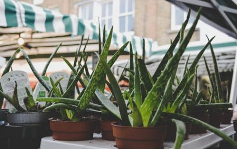 Aloe Vera Indoors