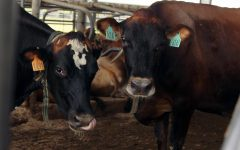 The Southwest Regional Dairy Center is home to many different types of cattle including beef cattle.